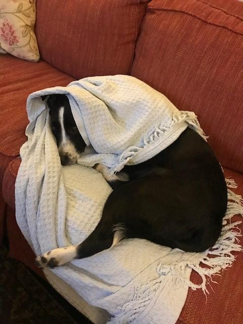Dog wrapped in blanket on couch.
